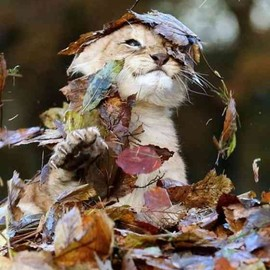 Lion baby - Play with fallen leaves