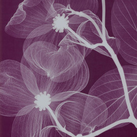 ROSE, Radiograph X-ray Negative 2002
