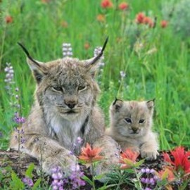 lynx mom and her baby