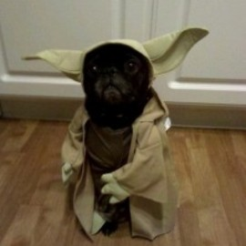 French bulldog Yoda
