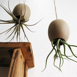 Michael McDowell - Tillandsia air plant