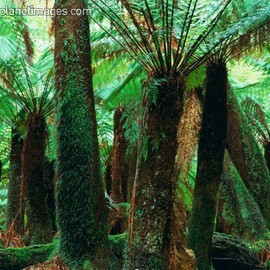 Australia - Tree ferns (Dicksonia Antarctica) in rainforest, Blue Tier, North East Highland, near Ringarooma.