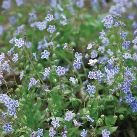 CoppiceGARDEN(コピスガーデン) - Omphalodes cappadocica 'Starry Eyes'