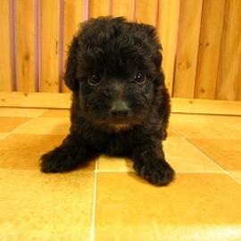 TOY POODLE - Silver