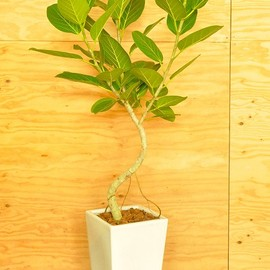 観葉植物 ベンガルボダイジュ - http://www.biguppalm.com/shop/data/photo/CSC_075792.jpg