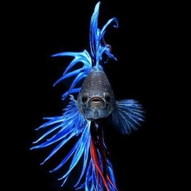 Siamese fighting fish (Betta splendens)