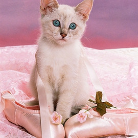 Siamese Kitten Sitting By Ballet Shoes