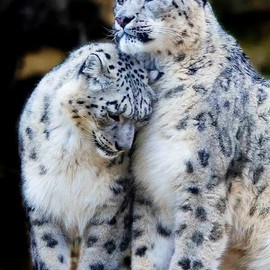 ・ - Snow Leopards
