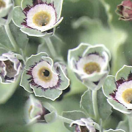 CoppiceGARDEN(コピスガーデン) - Primula auricula Gray Fancies Starwars NO1