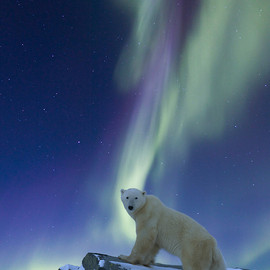 travel - Aurora borealis swirls across the sky over a polar bear standing on a rock on the tundra.