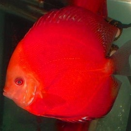 Fish - Discus Red