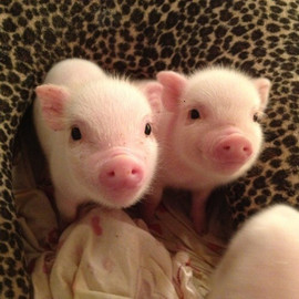 Two piglets.