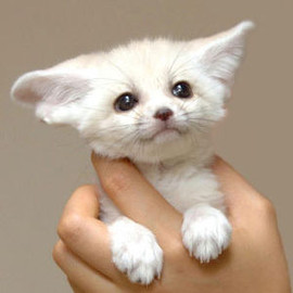 Fennec - Vulpes/North Africa/