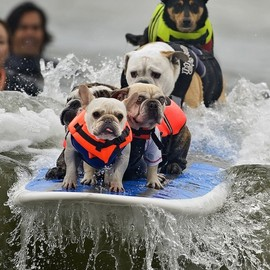 French Bulldog - Surfing Dog Competition