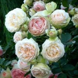 Eden rose- also known as the pierre de ronsard-old french rose.