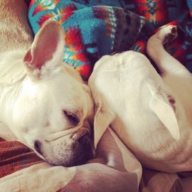 french bulldog - french bulldog brothers