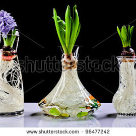 Growing hyacinth flower bulb in pot - stock photo
