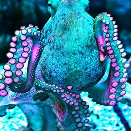 Turquoise Octopus
