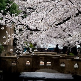 Kyoto - Spring in Kyoto,  Cherry blossoms of Takase river