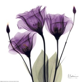 Albert Koetsier - Royal Purple Gentian Trio