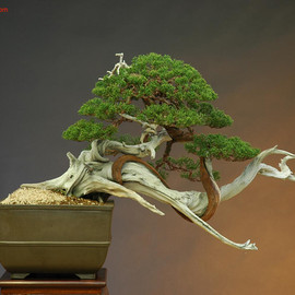 Mario Komsta - The Art of Bonsai