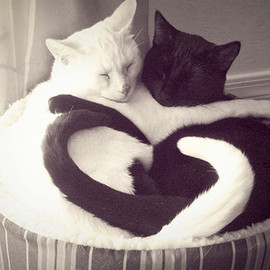 © Photo Amy O'Neil - sweet cats-white and black cat love, gatti a forma di cuore