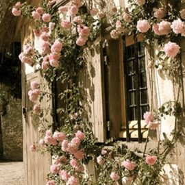cascading wall of garden roses.