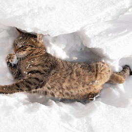 Fine Art America - Cat Playing in the Snow Photograph  - Cat Playing in the Snow Fine Art Print