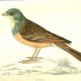 Antique Bird Print by Morris