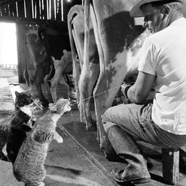 cat - FARM CATS AND COWS MILK