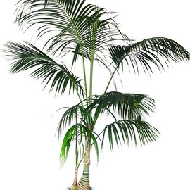 Howea forsteriana - 観葉植物