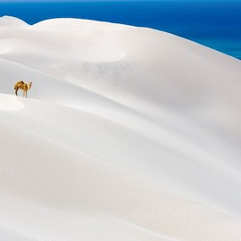 Socotra Island - Camel standing on white sand dunes