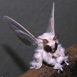 Is it a bird? Is it a dog? No... it's a moth that looks like a poodle