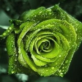 St. Patty's Day roses.