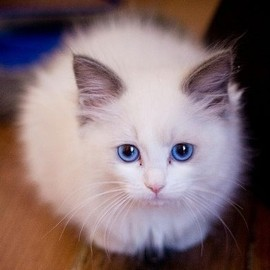 cat - white ragdoll