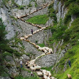Switzerland - Sheep zig-zag up trail