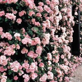 roses on the wall
