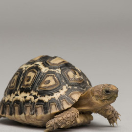 Fine Art America - Joel Sartore - A Baby Leopard Tortoise At The Lincoln Photograph  - A Baby Leopard Tortoise At The Lincoln Fine Art Print
