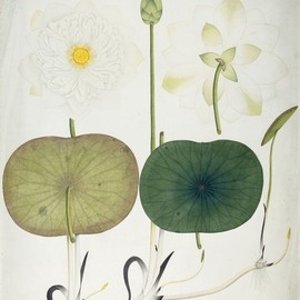 Antique - White lotus Picture