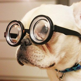 French Bulldog - Myopia