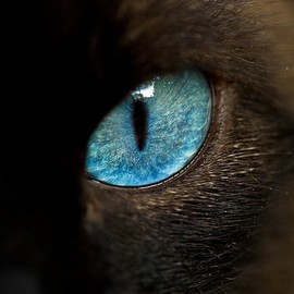 cat - blue eye