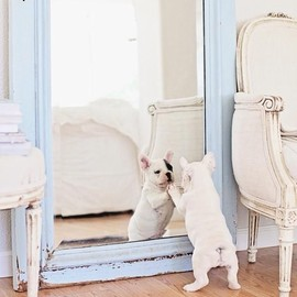 French Bulldog - Hello, handsome.