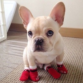 French Bulldog - French Bulldog with booties