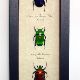 3 Bold Red Green Blue Real Framed Jewel Beetle Collection in an Archival Conservation Insect display Torynorrhina flammea, violets Thailand and Indonesia, Ischiopsopha Lucivorax