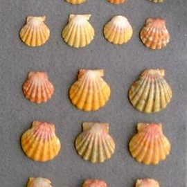 Sunrise Shells