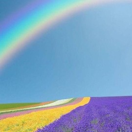 Rainbow over Lavender Field