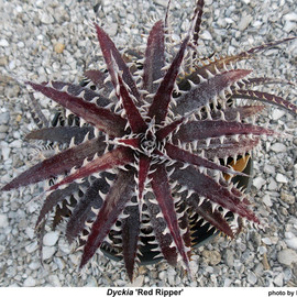 ディッキア - DYCKIA RED RIPPER