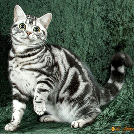 cat - American Shorthair