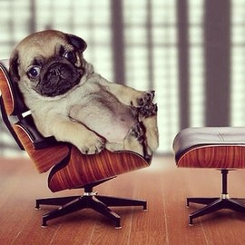 Cute pup relaxing on his very own Eames chair and ottoman! #dog #cute #relax