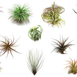 PLANTS - Tillandsia